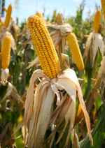 Maize - the Aztec food grain